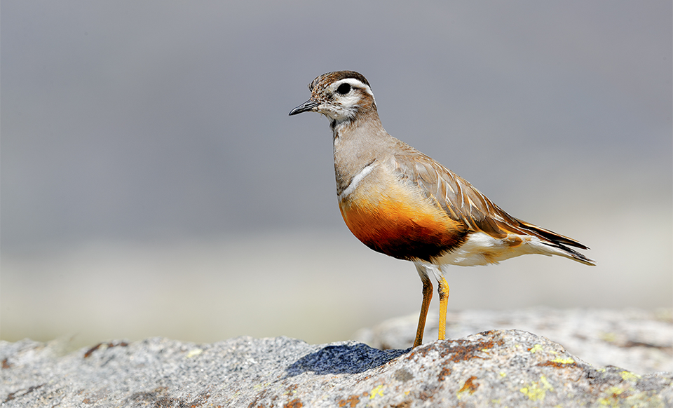 Eurasian Dotterel (Charadrius morinellus) sitting on the ground.
